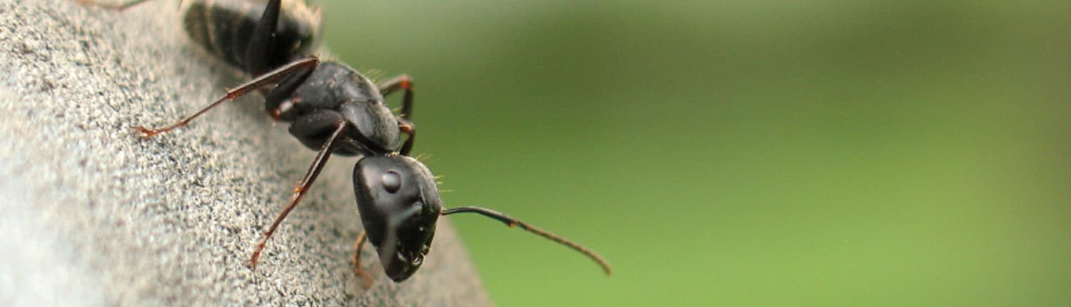 Suddenstrike Pest Control Cheshire | Domestic, Commercial, Agricultural | Ant