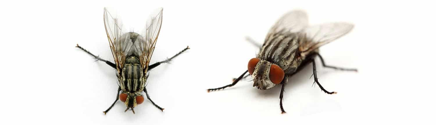 Suddenstrike Pest Control Cheshire | Domestic, Commercial, Agricultural | Cluster flies