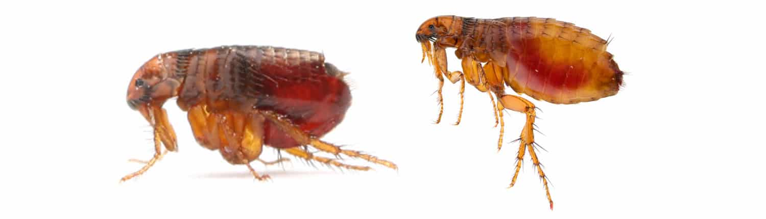 Suddenstrike Pest Control Cheshire | Domestic, Commercial, Agricultural | Fleas