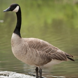 Suddenstrike Pest Control Cheshire | Domestic, Commercial, Agricultural | Goose by water