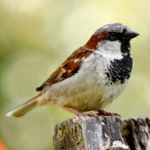 Suddenstrike Pest Control Cheshire | Domestic, Commercial, Agricultural | House sparrow