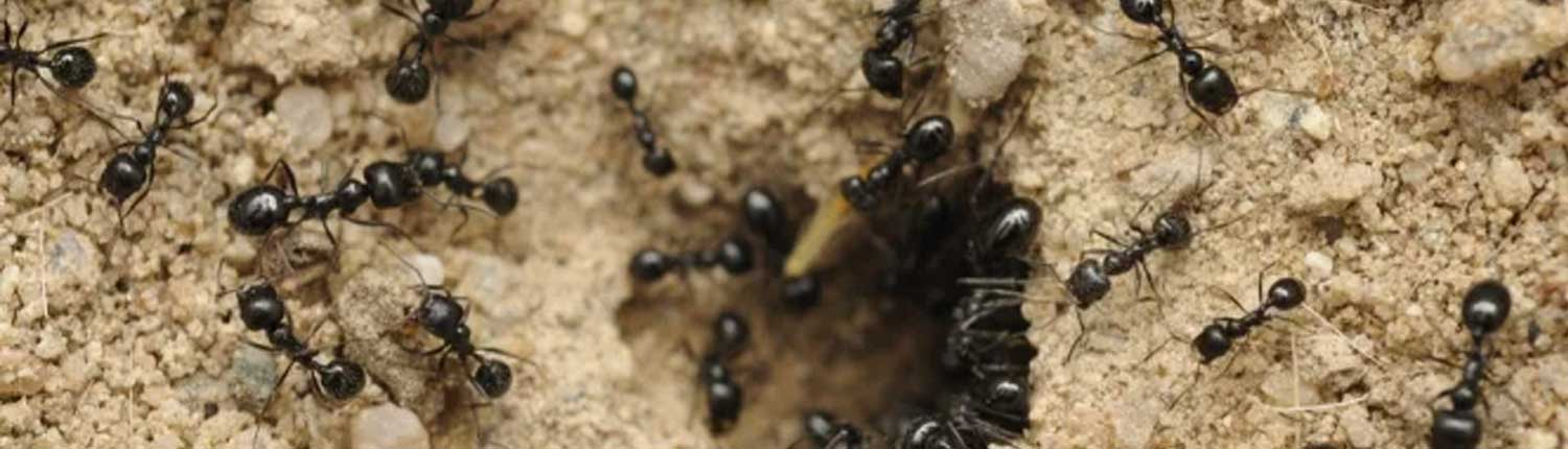 Suddenstrike Pest Control Cheshire | Domestic, Commercial, Agricultural | Ants
