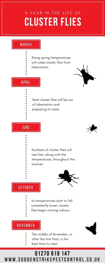 Suddenstrike Pest Control Cheshire | Domestic, Commercial, Agricultural | Cluster fly life cycle