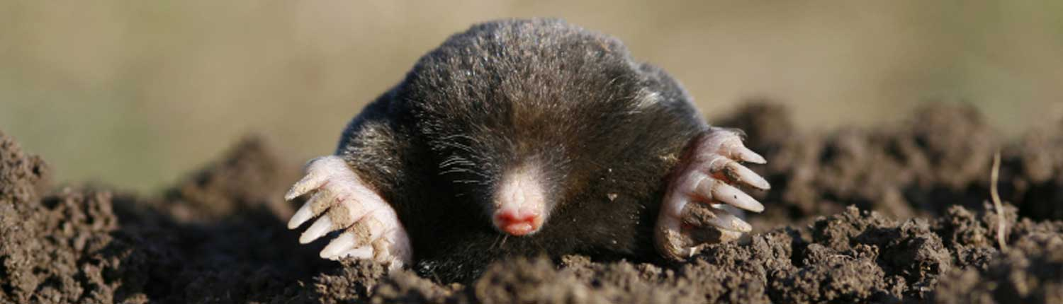 Suddenstrike Pest Control Cheshire | Domestic, Commercial, Agricultural | Mole