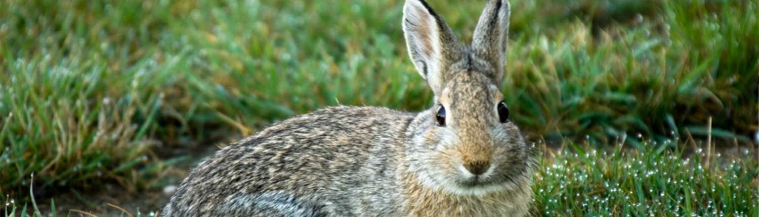 Suddenstrike Pest Control Cheshire | Domestic, Commercial, Agricultural | Rabbit