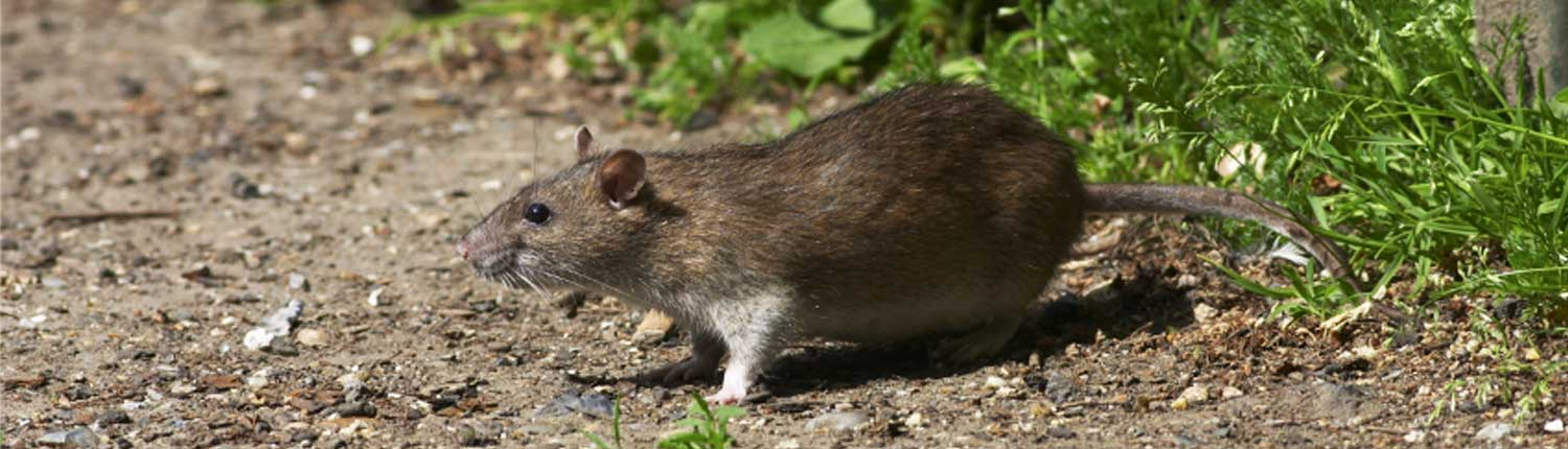 Suddenstrike Pest Control Cheshire | Domestic, Commercial, Agricultural | Rat