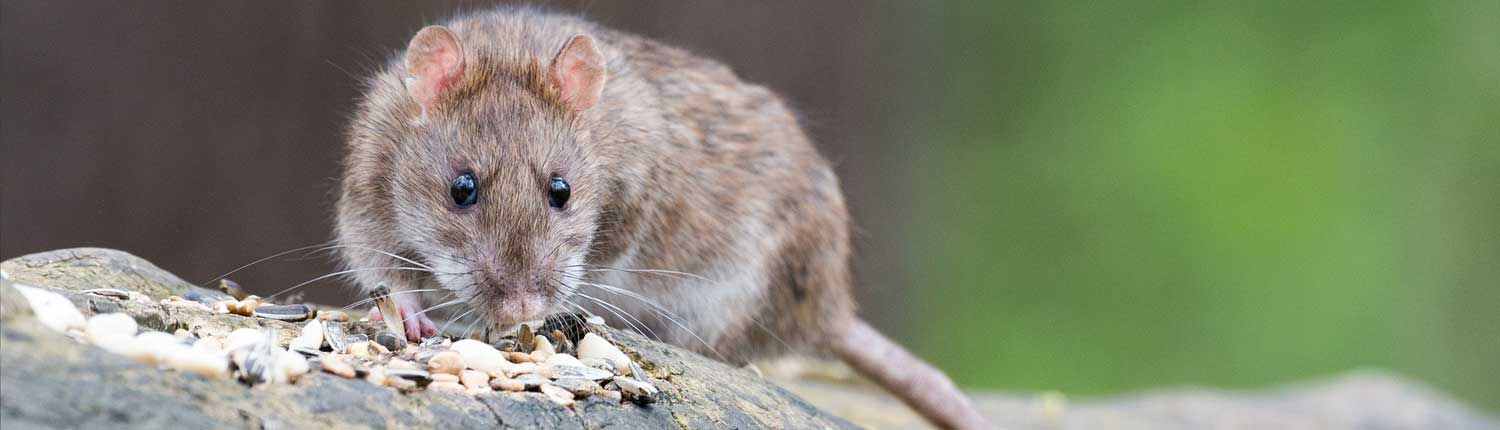 Suddenstrike Pest Control Cheshire | Domestic, Commercial, Agricultural | Rat and grain