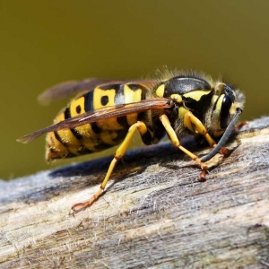 Suddenstrike Pest Control Cheshire | Domestic, Commercial, Agricultural | Wasp on wood