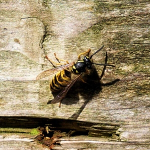Suddenstrike Pest Control Cheshire | Domestic, Commercial, Agricultural | Wasp nest