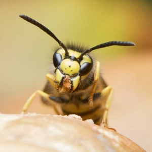 Suddenstrike Pest Control Cheshire | Domestic, Commercial, Agricultural | Wasp jaws