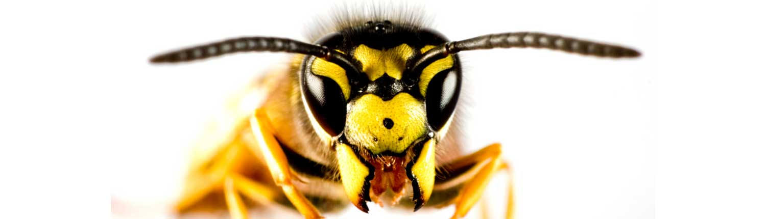 Suddenstrike Pest Control Cheshire | Domestic, Commercial, Agricultural | Wasp face