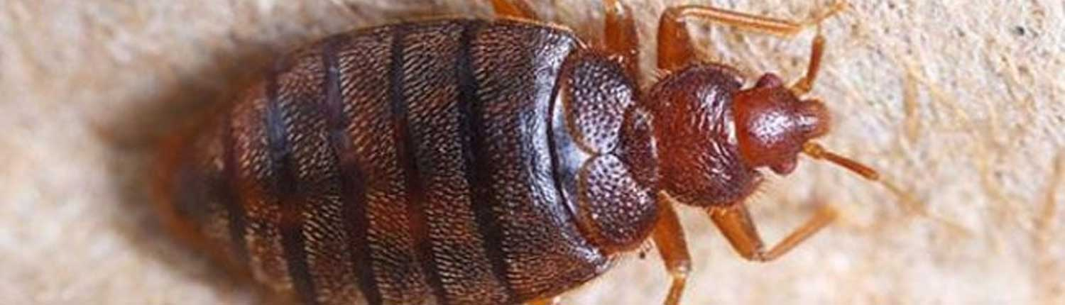 Suddenstrike Pest Control Cheshire | Domestic, Commercial, Agricultural | Bed bugs