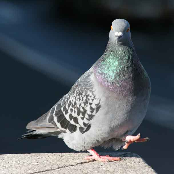 Suddenstrike Pest Control Cheshire | Domestic, Commercial, Agricultural | Walking pigeon