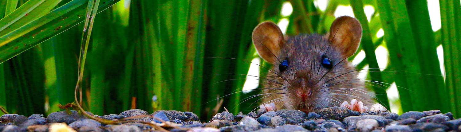 Suddenstrike Pest Control Cheshire | Domestic, Commercial, Agricultural | Peeping rat