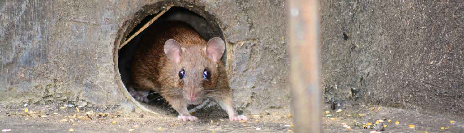 Suddenstrike Pest Control Cheshire | Domestic, Commercial, Agricultural | Rat in drain